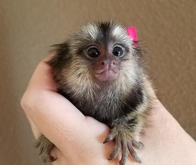 """Molly"" Monkey Female $3900"