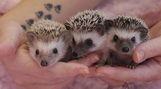 c2b8886e5e3d Janda Exotics   Tame Baby Hedgehogs For Sale   USDA Licensed Breeder