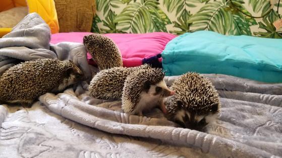 Hedgehoggroup.jpg