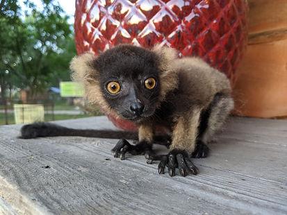 Lemur for sale.jpg
