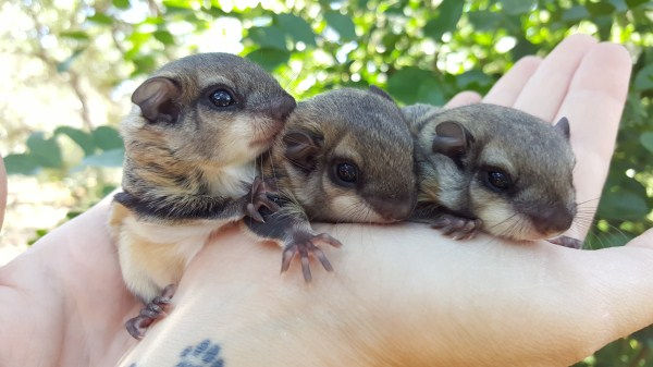Flying Squirrels for sale, Flying Squirrel breder, Flying Squirrel, Flying Squirrel baby, Care for Flying Squirrel, exotic animal, cute animal, Flyin squirrel picture