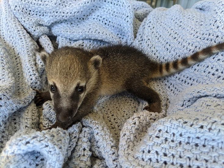 Taylor- Male Mountain Coati Baby $1200