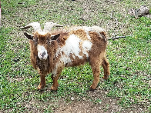 Griffin - Male Adult Nigerian Dwarf Tame PRICE $150