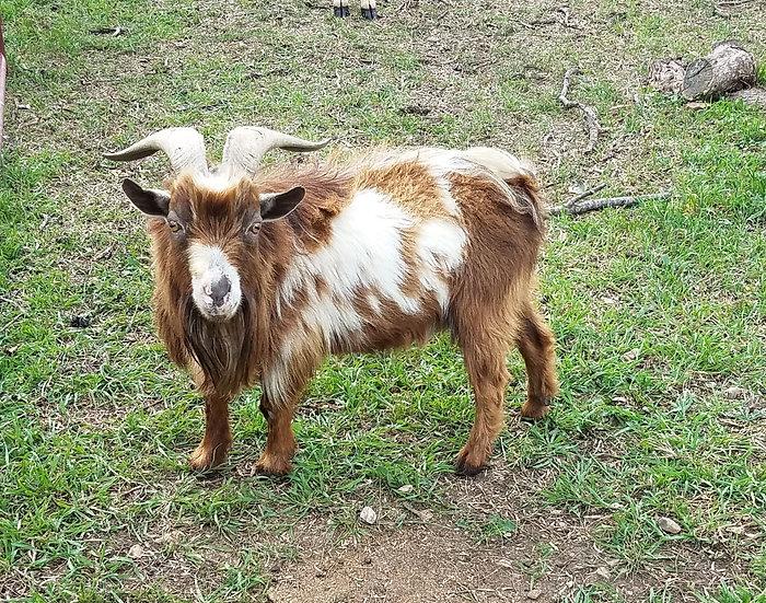 Griffin - Male Adult Nigerian Dwarf Tame PRICE $150