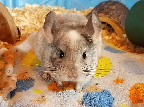 Spot- Male Chinchilla $600