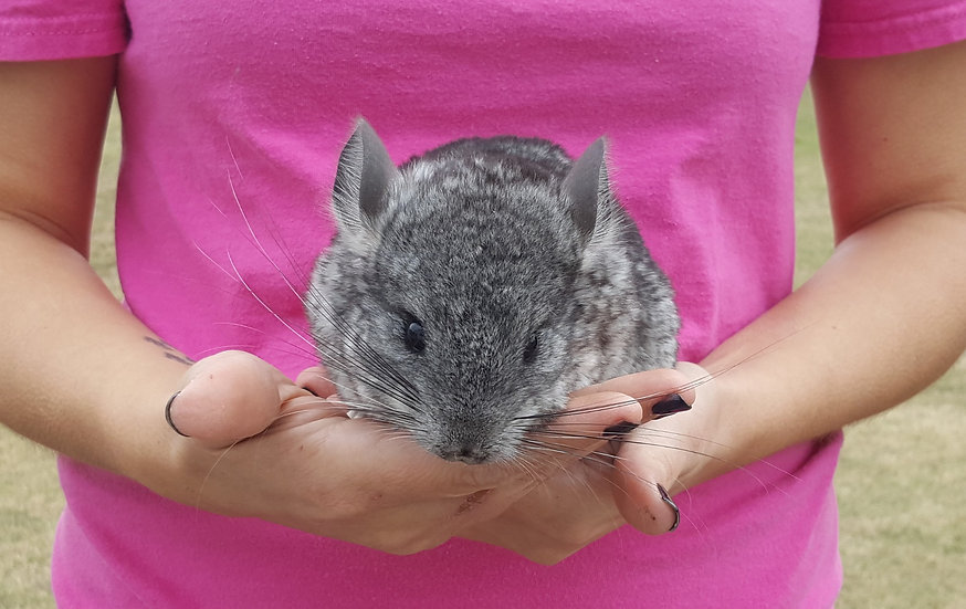 Erlea - Chinchilla Female  $200