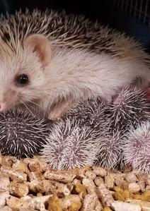 Hedgehogpets.jpg