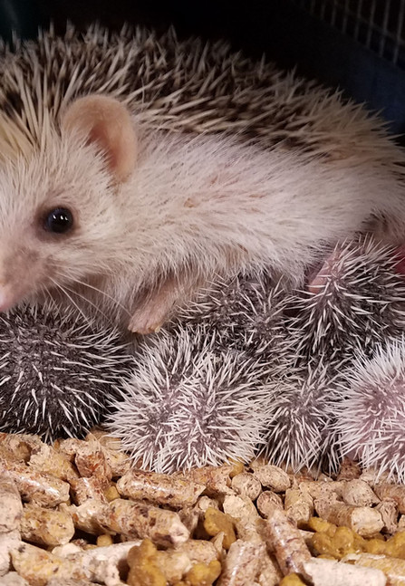Hedgehogpets.jpg
