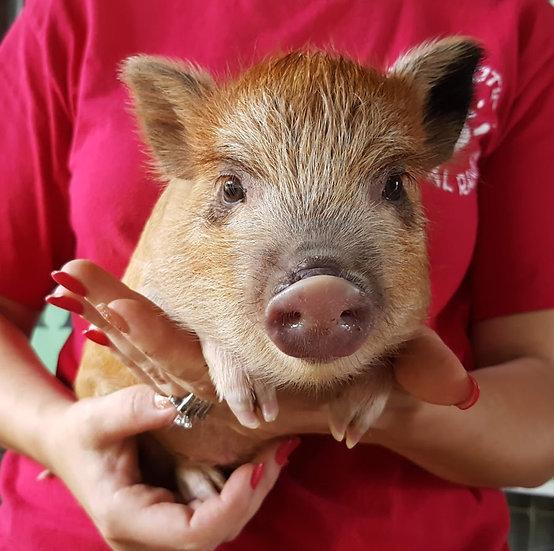 Pie - Female Mini Pig $50