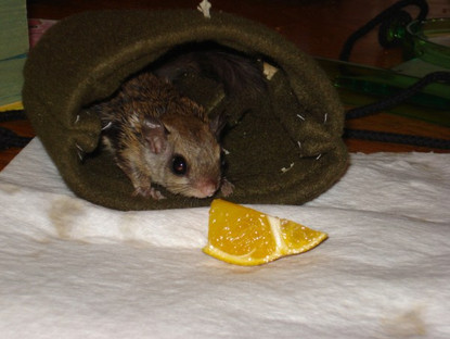 Flying Squirrel In Depth Pet Care