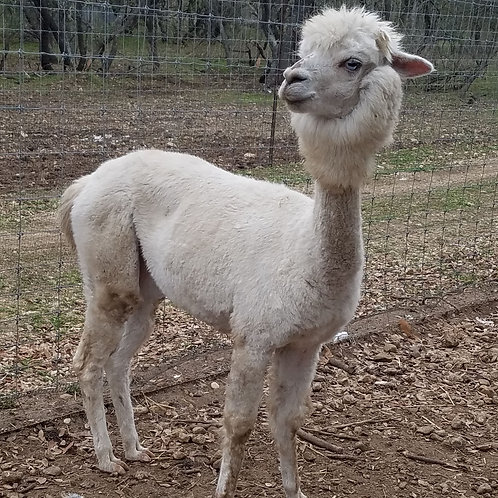 Dolly- Alpaca Female $1000