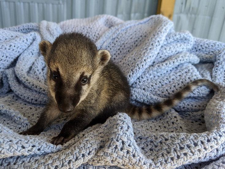 Puddy- Female Mountain Coati Baby $1500