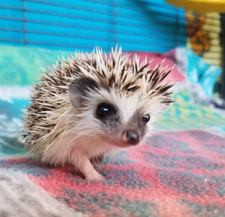 Hedgehogcutie.jpg