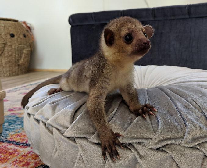 Kinkajou Baby Female DOB: 6/5/18 $3200