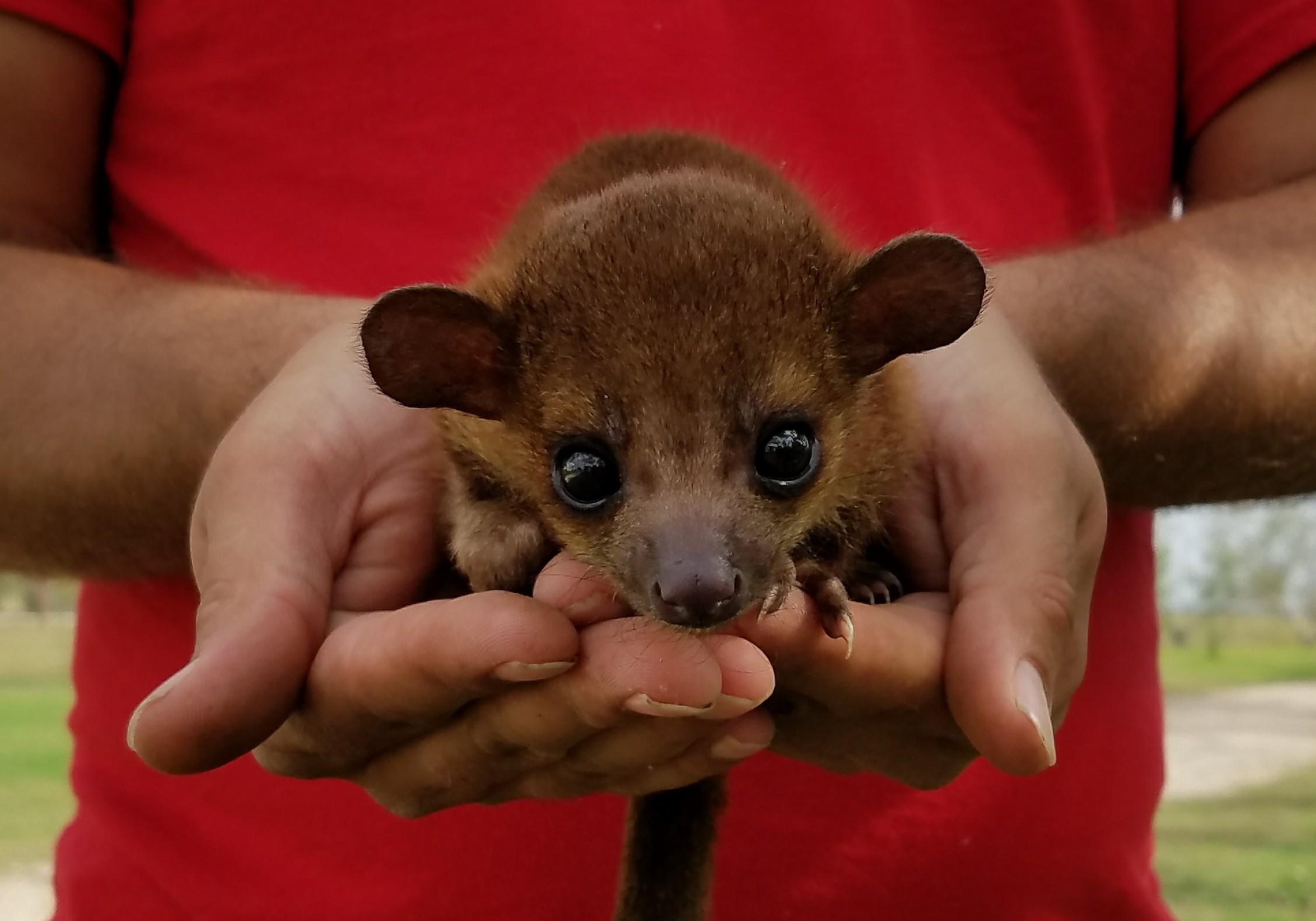 Tiny Kinkajou