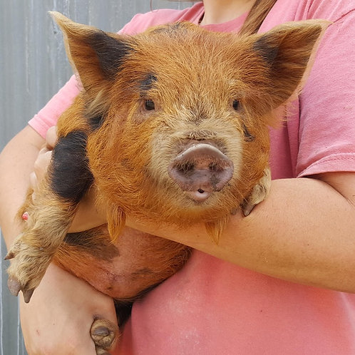 Whiskey- Male Kune Kune  $200