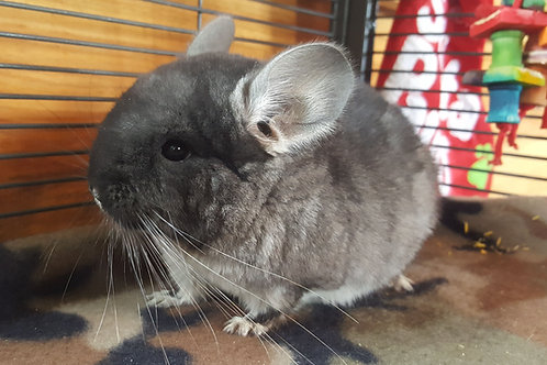 Ghost- Male $350