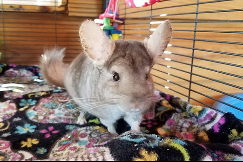 Fabio -  Male Chinchilla $200