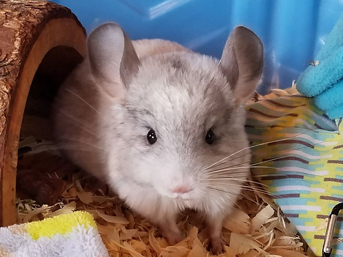 Falcor -Male Chinchilla $550