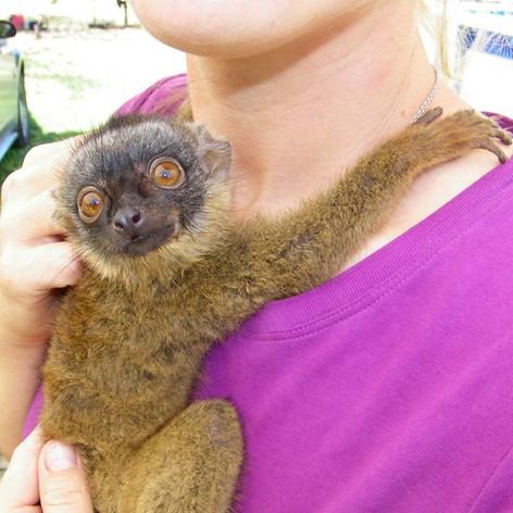 Brown Lemur Baby.jpg