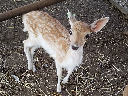 Darla- Spotted Fallow Doe Bottle Baby $800