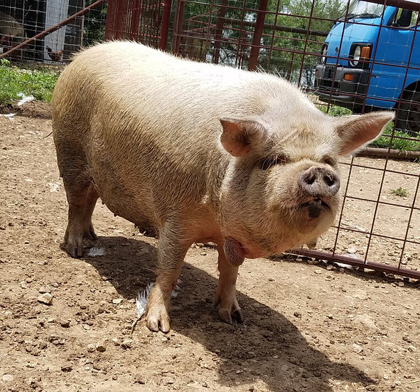Fully Registered AKKPS Kune Kune Sow  - $500