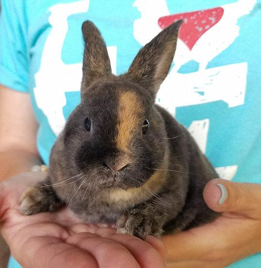 """Mini Rex Rabbit Female """"Fern"""""""