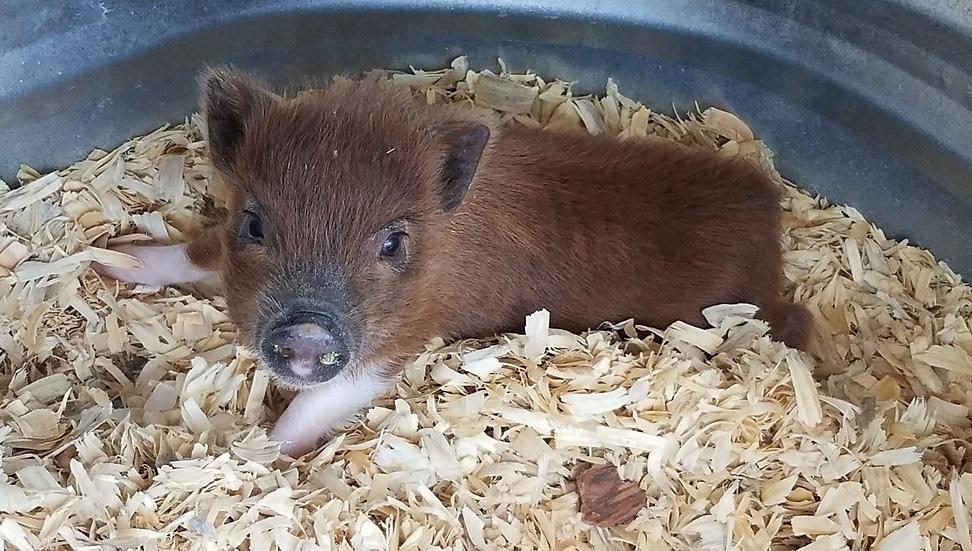 Wendy - Female Mini Pig $400