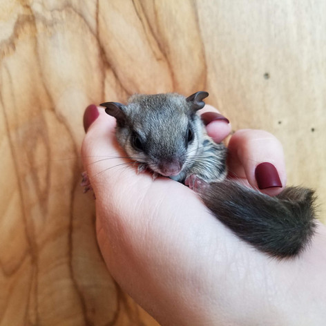 Flying squirrel babies.jpg