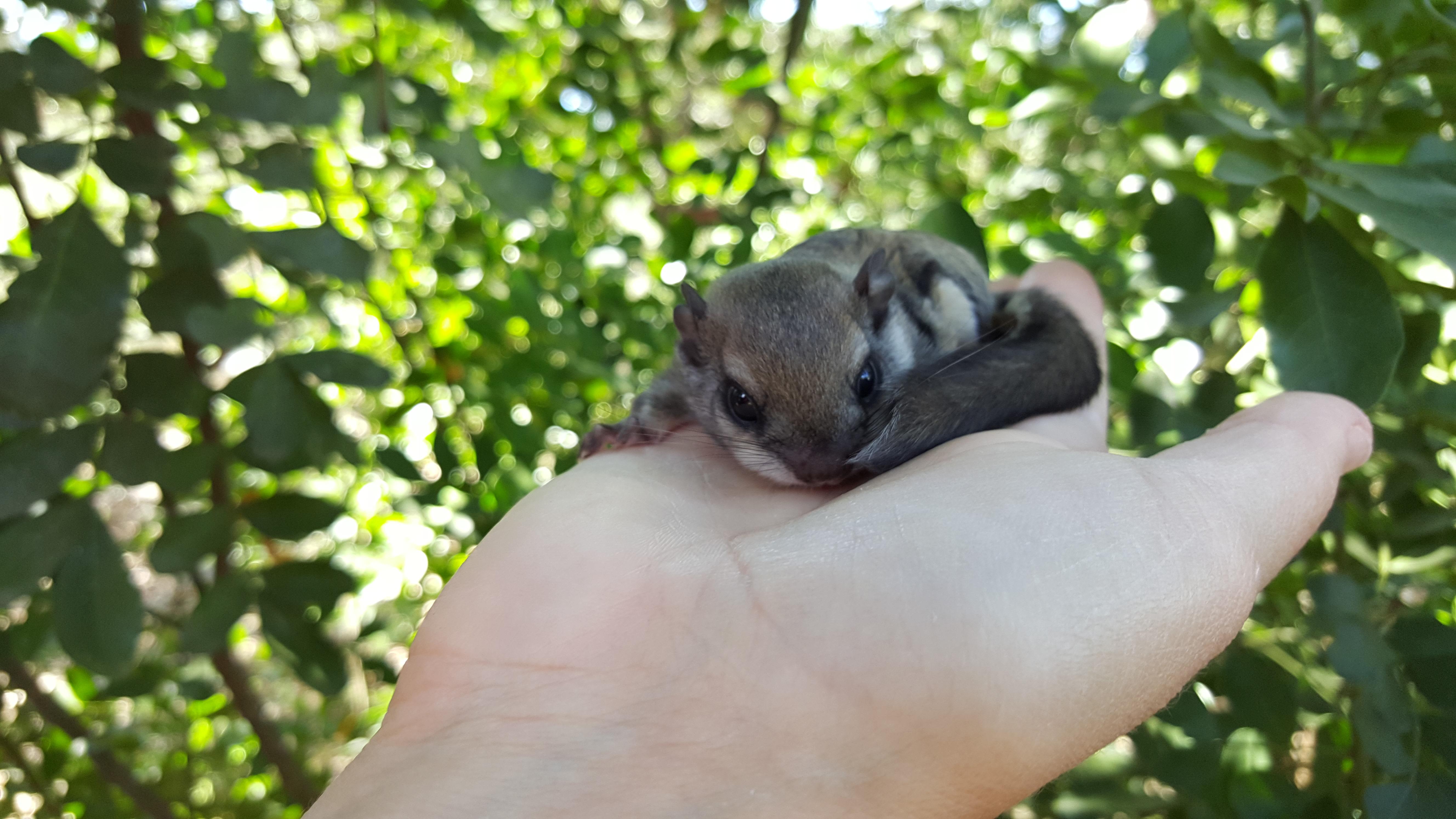 Flying Squirrel Info