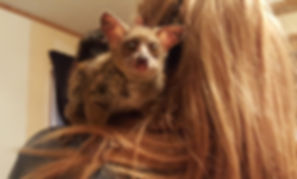 Bushbaby, Babybush Baby, Bushbaby Care, Bushbaby Breeder, Bushbay for sale, Exotic Animal, Cute Animal, Exotic Pet, Pet Bushbaby