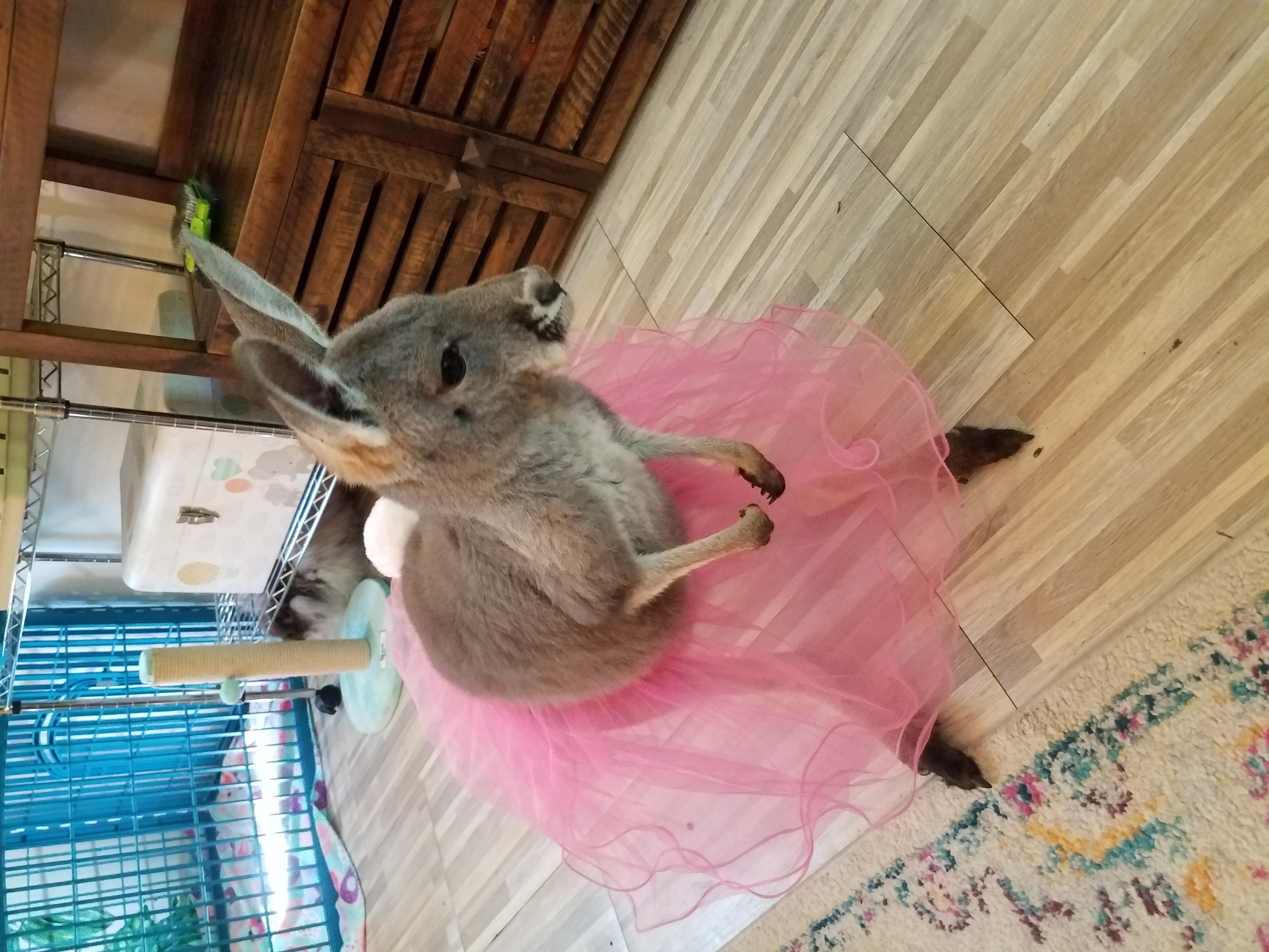 Red kangaroo Ballerina
