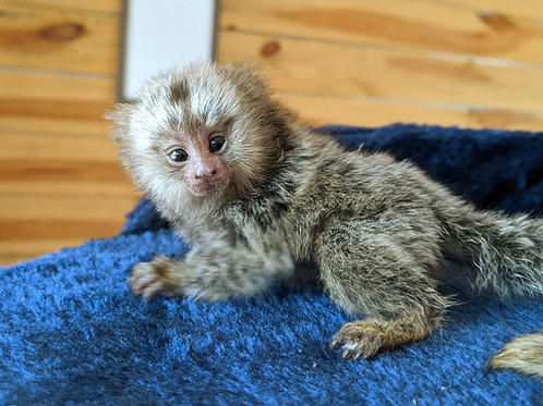 Zoe - Marmoset Female PRICE $4,500 DOB: 9/24/2020