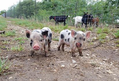 farm animals for sale.jpg