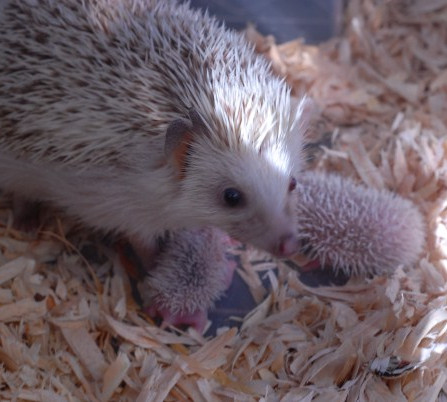 hedgehogbabies.jpg