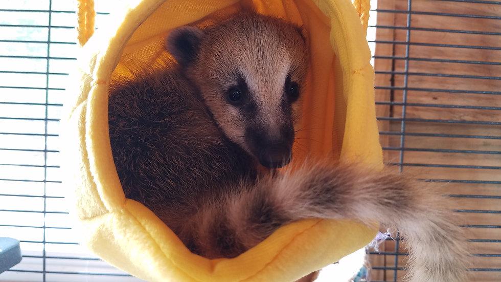 Female Mountain Coati Baby
