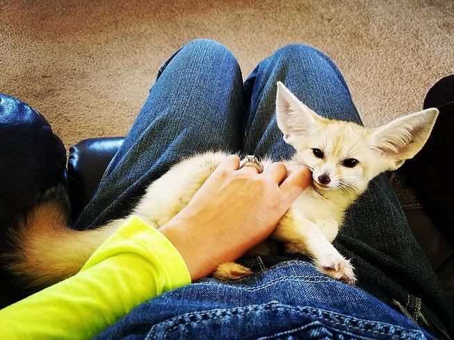 Fennec Fox For Sale, Fennec Fox Kit, Fennec Fox baby, Fennec Fox breeder, Exotic Animal, Fox, Exotic Pet, Cute animal,