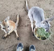 Kangaroo Pet Care.jpg