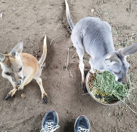 Kangaroo Pet Care.jpg
