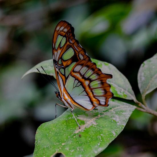 Lepidoptera, von altgriechisch λέπος lépos «Schuppe» und πτερόν pterón «Flügel»