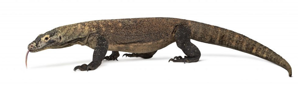 Komodo animal 2.jpg