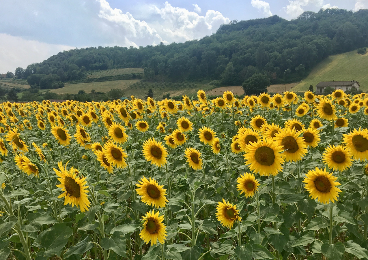 Sunflowers below Montone.JPEG