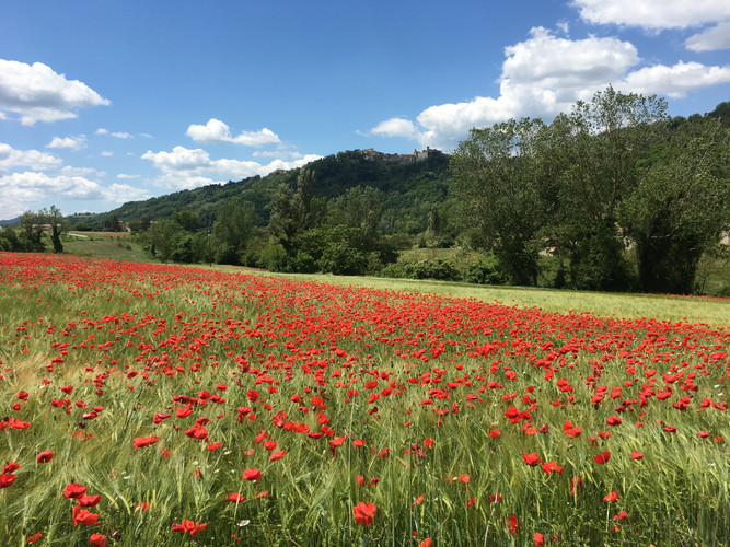 Poppies below Montone