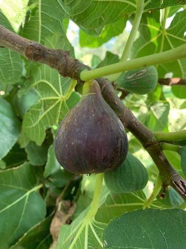 Black fig.jpg