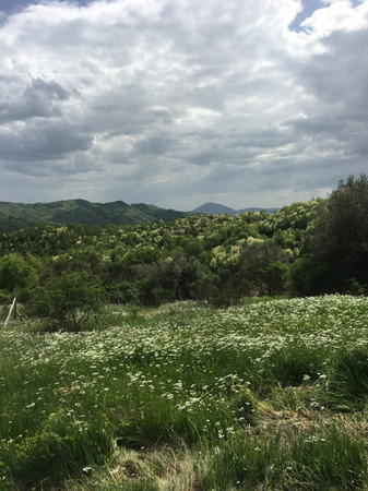 Carpini in bloom in May