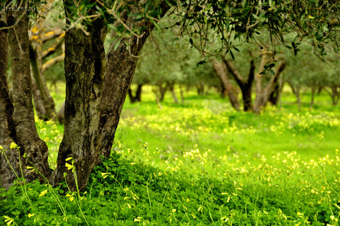 Olive Grove In January