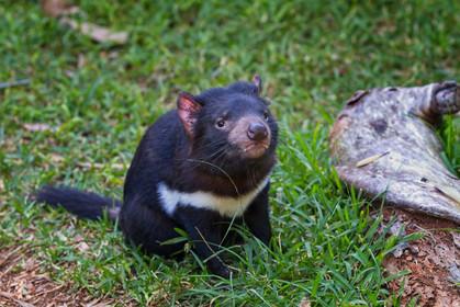 Tasmanian Devil2.jpg