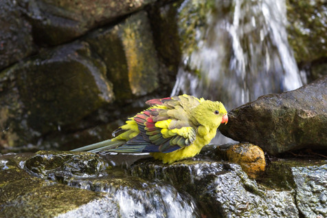 Orange Bellied Parrot.jpg