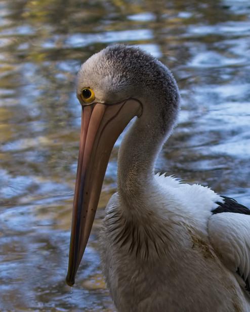 Pelican2.jpg