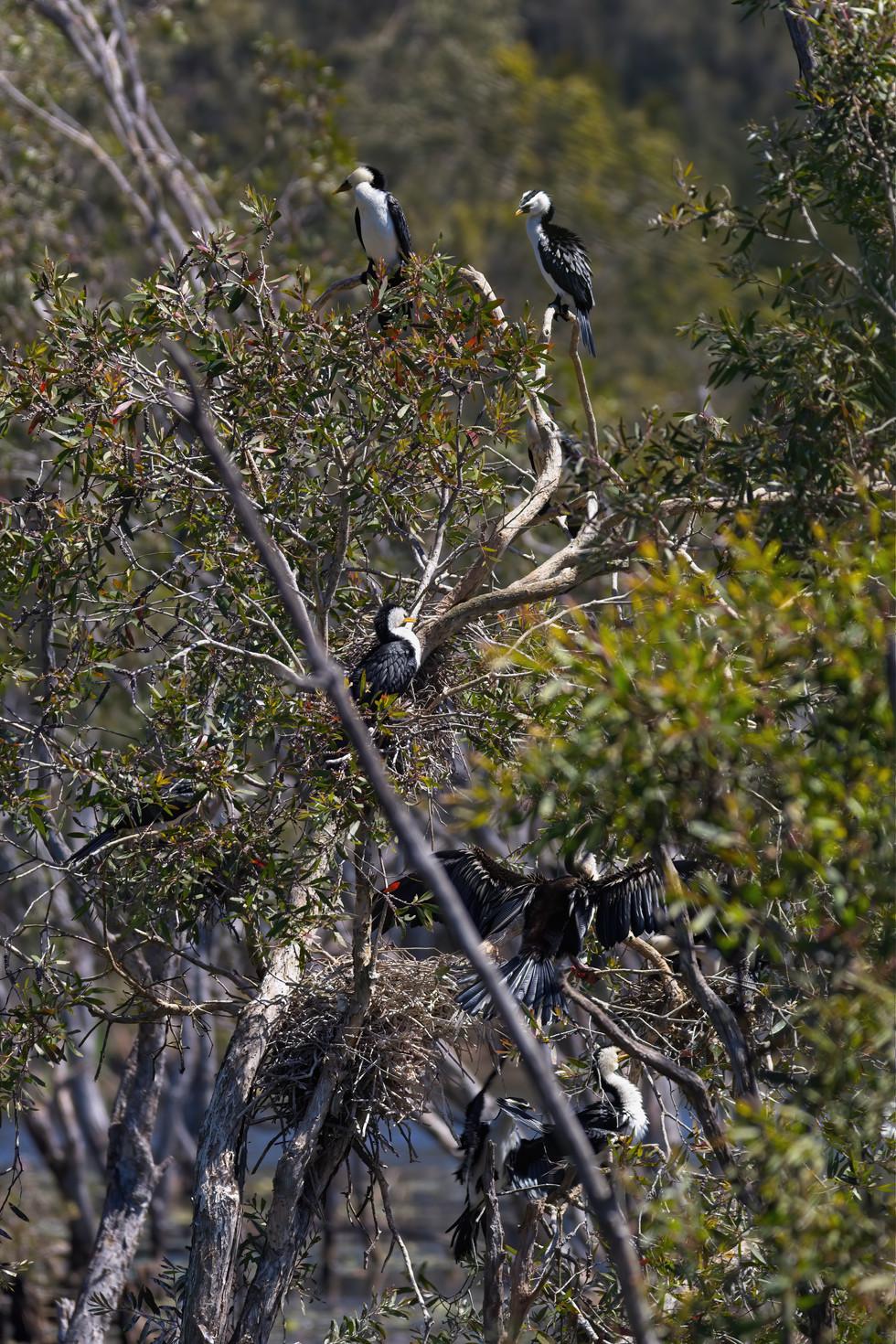 Darters & Pied Cormorants